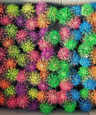پک کاکتوس اچینو رنگی سه قلو (25 عددی)