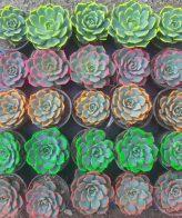 پک اچوریا لب رنگی (گلدان 6) 25 عددی