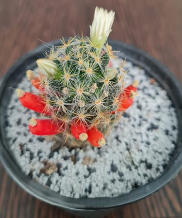 مامیلاریا پرولیفرا Mammillaria prolifera