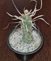 کاکتوس تفرو کاغذی تیغ بلند Tephrocactus papyracanthus