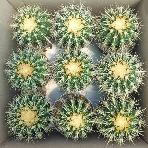 پک کاکتوس اچینو (گلدان 11) 9 عددی
