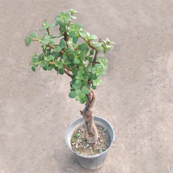 کراسولا خرفه ای بافت (گلدان 14)