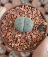 لیتوپس کوچک (گلدان 6)