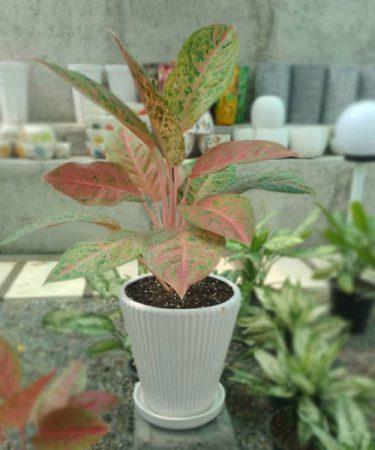 گیاه آگلونما قرمز