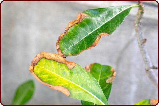 علت سوختگی برگ گیاهان