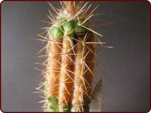 پوسیدگی ریشه کاکتوس و درمان آن