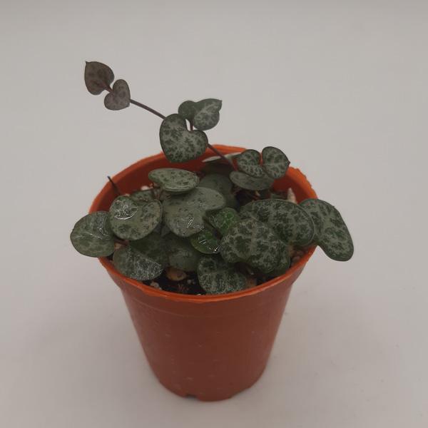 سروپژیا وودی (گلدان 8)